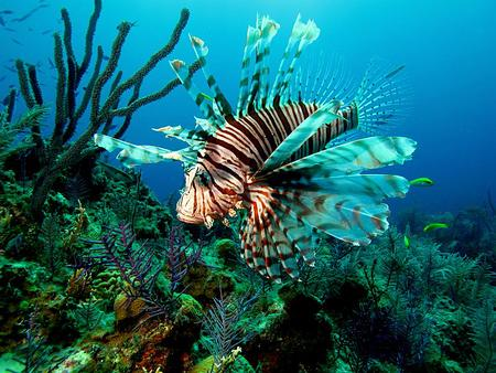 Lion Fish  the new curse of the reefs